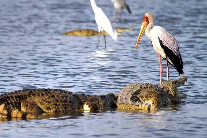 Sau khi giành được con cá, cò ăn no nê và nhảy lên lưng cá sấu thản nhiên như không có chuyện gì