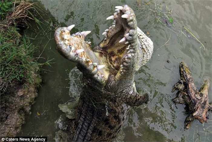 Hàm cá sấu sắc nhọn, ghê gớm nhưng con cò có bản lĩnh cao để đòi lại phần thức ăn của mình