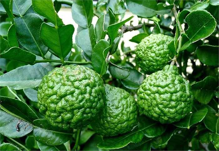 Trong số các loại quả lạ, giống chanh có vỏ ngoài và hình dáng gợi liên tưởng đến bộ não người được xem là thứ quả 'hái ra tiền' ở nhiều nước. Thực chất đây là loại chanh được trồng phổ biến ở Lào, Indonesia, Malaysia và Thái Lan với nhiều tên gọi khác nhau.