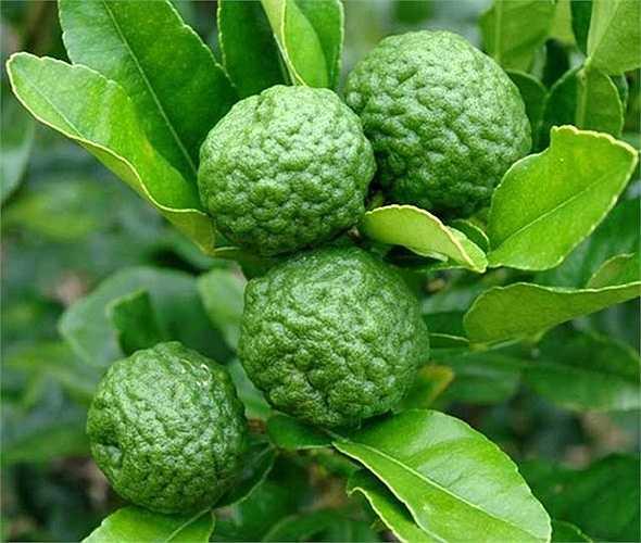 Nhờ hương vị của lá chanh này mà món tom yum của Thái Lan nổi tiếng khắp thế giới, vì thế chúng được gọi là chanh Thái (tên tiếng Anh là kaffir lime). Ở Việt Nam, chanh lạ được gọi là Trúc (hoặc chúc), trồng nhiều ở vùng An Giang.