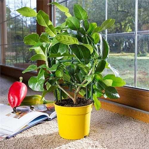Do dễ trồng, chịu điều kiện khô hạn tốt, hình dáng quả chanh độc, lạ nên cây cũng được trồng làm cảnh tại nhà. Ngoài ra, mùi thơm dịu nhẹ của chanh giúp căn phòng thông thoáng, dễ chịu.