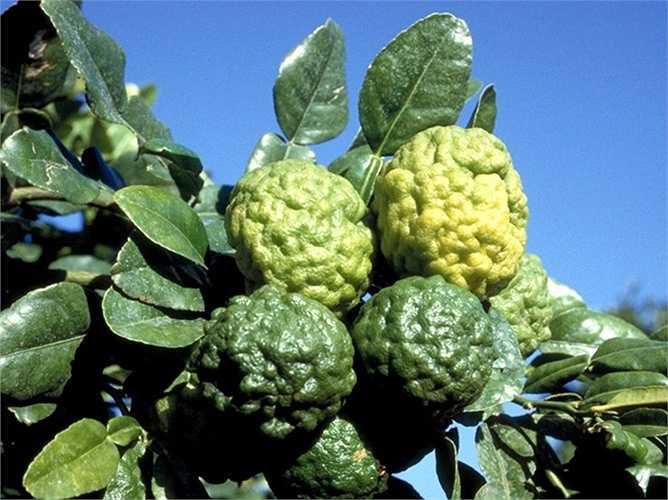 Thông thường, cây trồng từ 4 năm trở lên mới cho quả, càng lâu năm, tỉ lệ cho quả năng suất càng lớn.