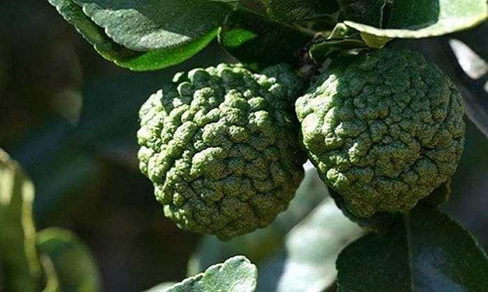 Hình dáng lạ với lớp vỏ sần sùi của quả chanh Thái.