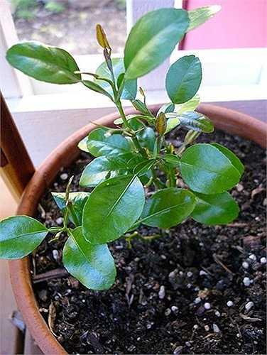 Không ít khách hàng ngoài mua quả còn lùng mua cây chanh giống để trồng. Trên thị trường, giá chanh giống từ 15.000 -20.000 đồng/bầu cao trên 25cm, từ 45.000 - 70.000 đồng /bầu (cao 40-50cm).