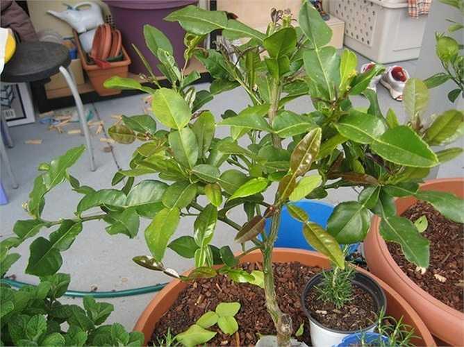 Với những cây đã cao 80cm - 1m, có thể hái lá dùng được, giá bán dao động từ 180.000 - 300.000 đồng/cây.