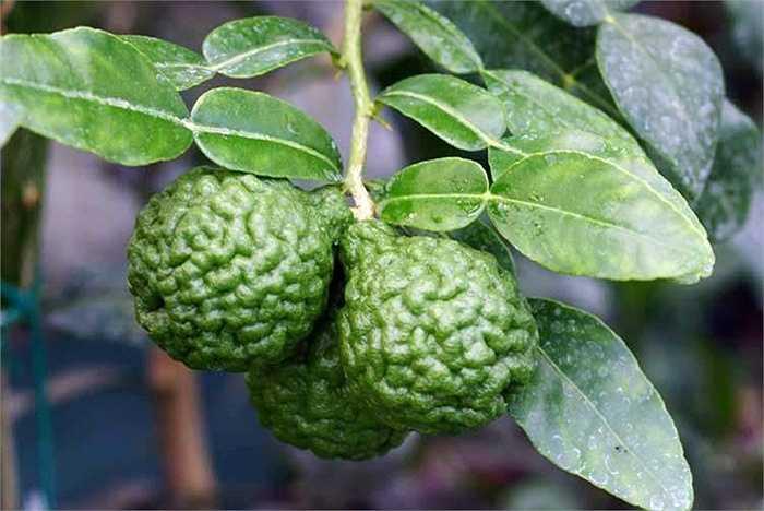 Ngoài dùng trong chế biến thực phẩm, chanh Thái được phái nữ dùng trong khi làm đẹp như các loại chanh thông thường. Gội đầu bằng chanh giúp làm thơm và mượt tóc.