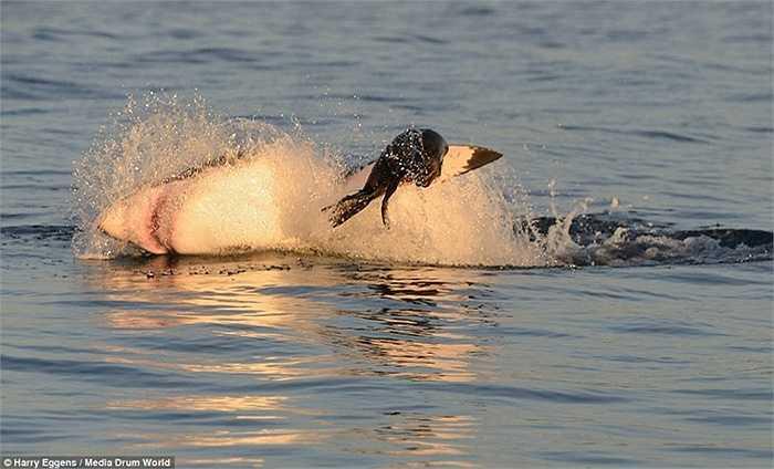 Cá mập thường săn mồi bằng cách lượn lờ dưới mặt nước. Tuy nhiên, mới đây tại vùng biển vịnh False ở Cape Town (Nam Phi), một nhiếp ảnh đã chụp được cảnh tượng hiếm thấy