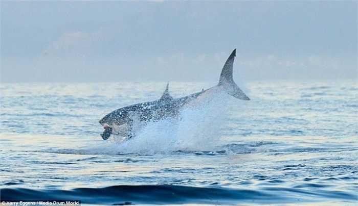 Đó là một con cá mập quẫy mình ra khỏi mặt nước bắt con mồi để có bữa ăn no nê