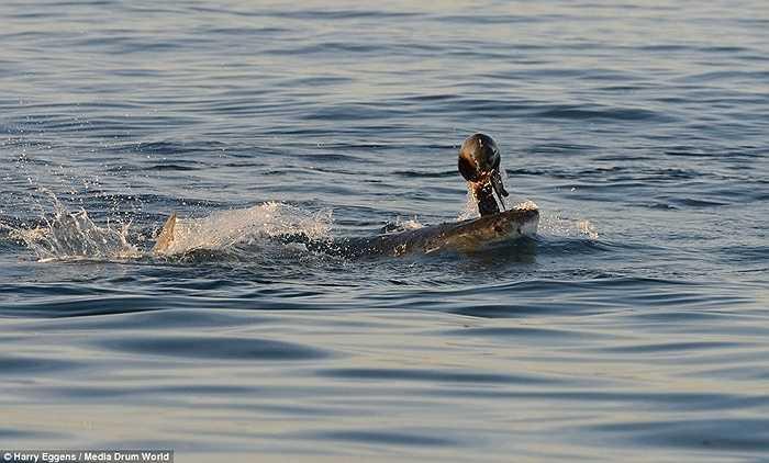 Con mồi đã bị chết dưới hàm răng sắc nhọn như dao của cá mập trắng