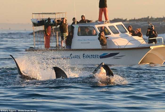 Những du khách trên thuyền đã chứng kiến một màn săn mồi hiếm thấy trên đại dương