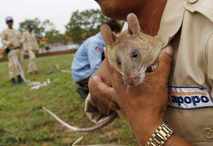 Chuột có thể phát hiện bom mìn đang được nuôi tại SieamReap (Campuchia) để tìm kiếm những quả bom, mìn còn sót lại từ thời Khmer Đỏ