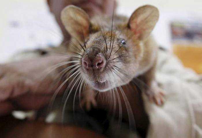 Đây là loại chuột má phồng Gambia được nhập từ Tanzania.