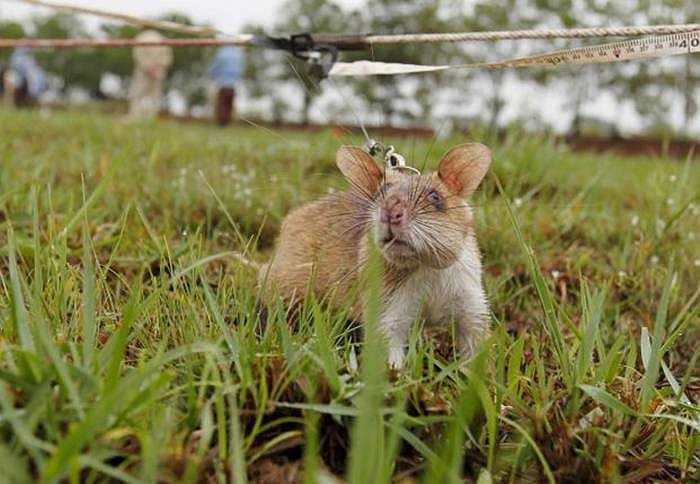 Nếu như con người chỉ nhờ máy dò tìm bom mìn tìm kiếm trên diện tích 20m2 mỗi ngày thì loại chuột này có thể tìm trên diện tích gấp 10 lần như thế