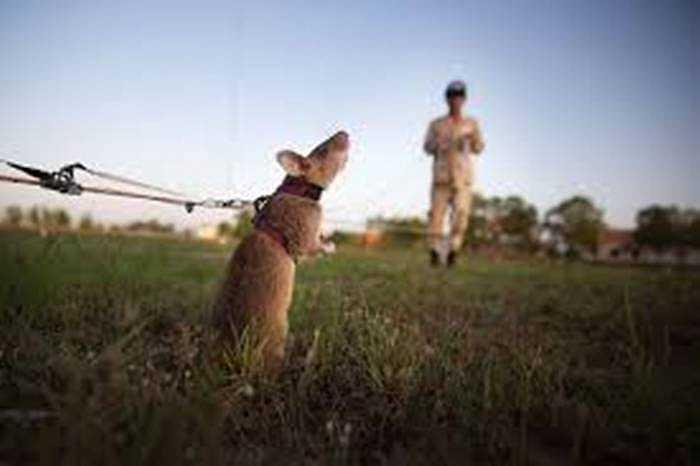 Các con chuột trong quá trình đào tạo để tìm kiếm bom mìn còn sót lại