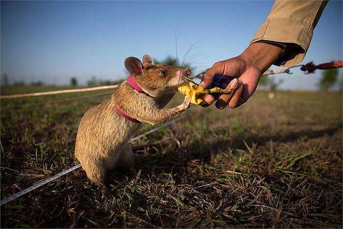 Mỗi lần chuột tìm ra bom hoặc mìn sẽ được trả công với bơ, đậu phộng