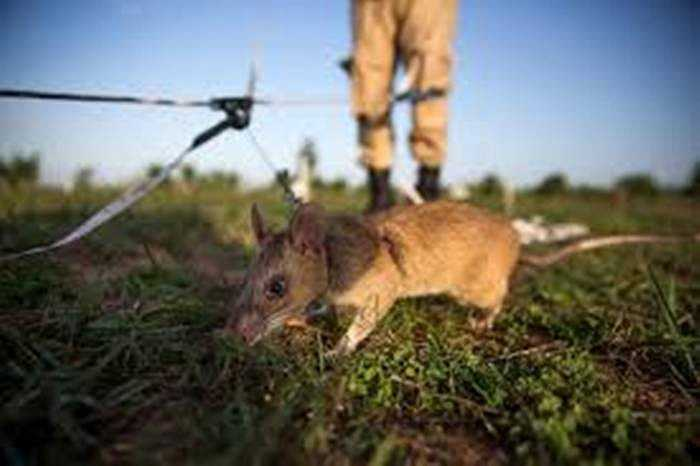 Chuột này nhỏ, chạy nhanh, không gây nổ bom hoặc mìn