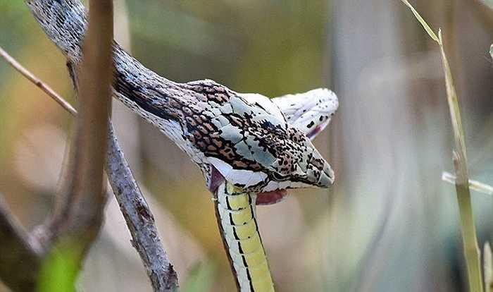 Điều khiến nhiếp ảnh gia này kinh ngạc là con rắn roi sau khi hạ thành công con rắn cát đã xử lý đối phương bằng cách ăn nó