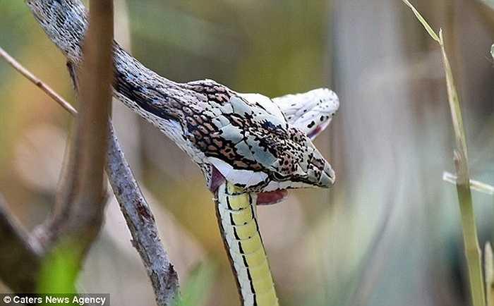 Rắn roi miền Nam châu Phi là loài rắn có cú cắn cực nhanh, mạnh làm con mồi tê liệt