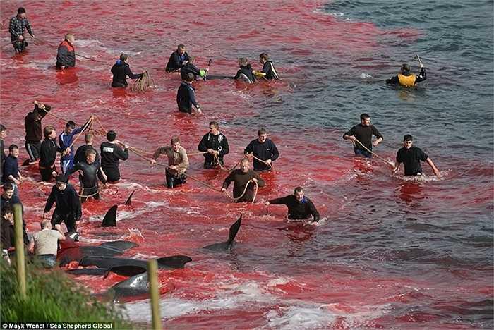 Hàng trăm con cá voi bị giết bên bãi biển