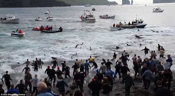 Người dân đảo dùng thuyền dồn cá vào bờ