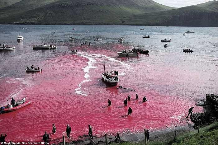 Máu cá chảy từ bờ xuống biển, nhuộm đỏ nước biển
