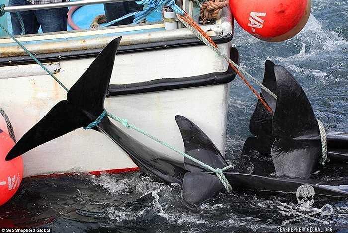 Những con cá voi bị lôi vào bờ