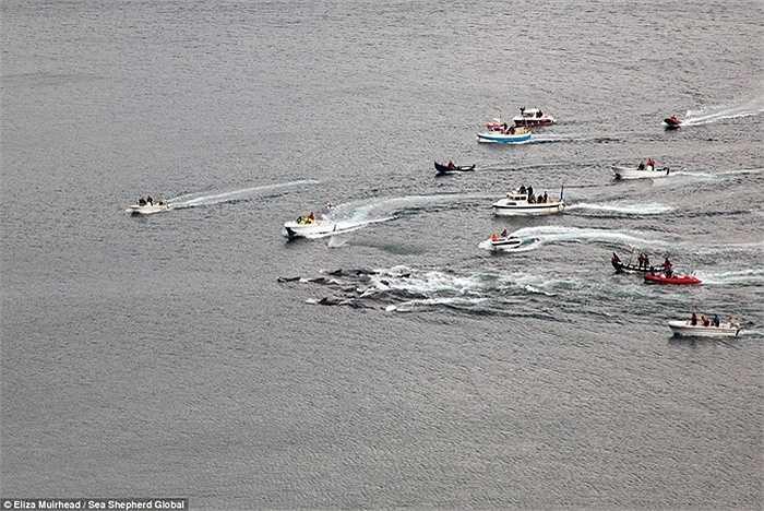 Người dân dùng tàu dồn cá vào bờ để giết