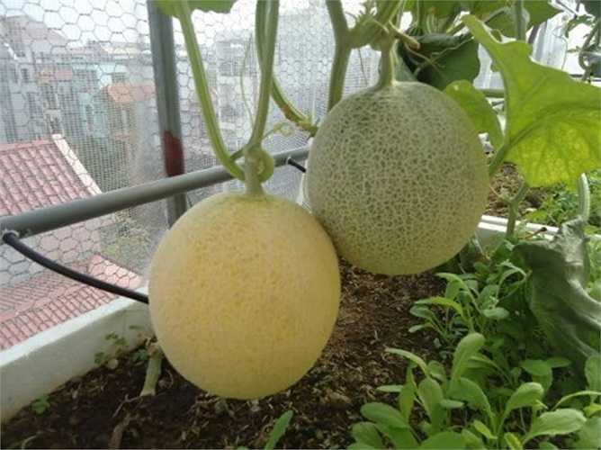 Trong khi đó, dưa Việt quả hình tròn, nhẹ hơn dưa vàng Trung Quốc. Trung bình các trái dưa trong nước nặng khoảng 1-2 kg, cùi dày, vị ngọt thanh và ăn giòn.