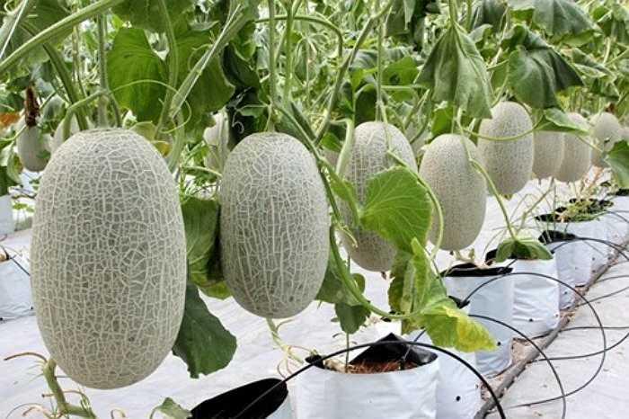 Đây là một trong những giống dưa lưới có giá thành cao hiện nay, 65.000 - 85.000 đồng/kg. Ruột dưa màu cam, vị ngọt thanh mát và thơm. Dưa lưới Bảo Khuê trồng trong nhà màng, thời gian thu hoạch chậm hơn các giống dưa khác.