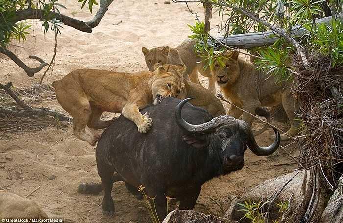 Những cú táp của sư tử nhằm vào lưng con trâu