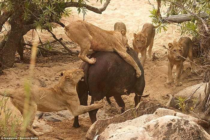 Đàn sư tử phân chia khu vực để tấn công