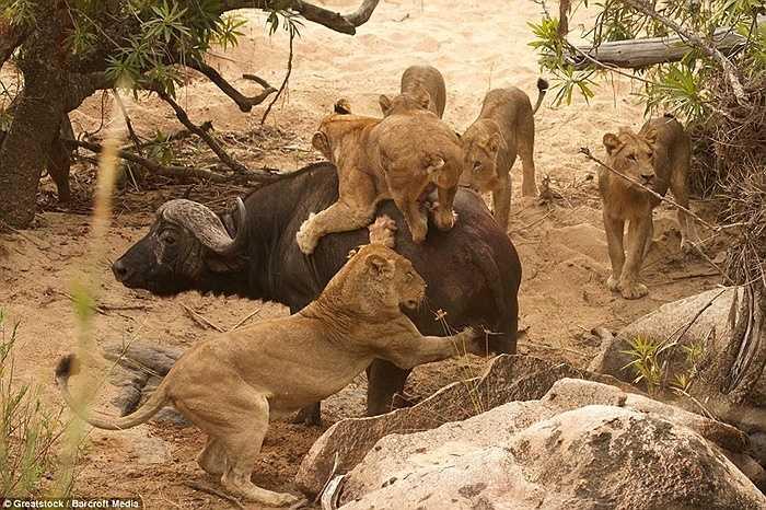 Con trâu loay hoay giữa 5 kẻ đi săn