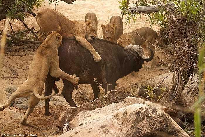 Đàn sư tử tấn công liên tục