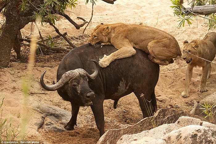 Tuy nhiên, 5 con sư tử là chưa đủ để hạ gục con trâu này