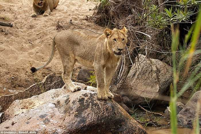 Và cuối cùng đàn sư tử đành chấp nhận để con mồi ra đi