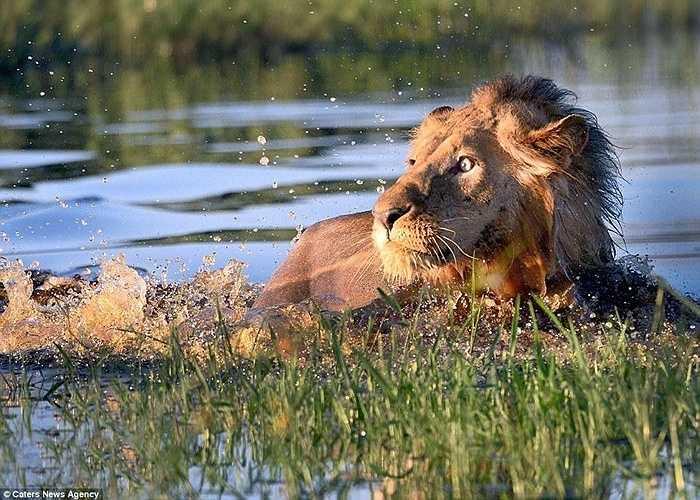 Okavango là vùng đồng bằng châu thổ với hệ sinh thái đa dạng về động, thực vật. Một nhiếp ảnh gia đã ghi lại được khoảnh khắc một  con sư tử 'sợ hãi' khi vừa bước xuống nươc