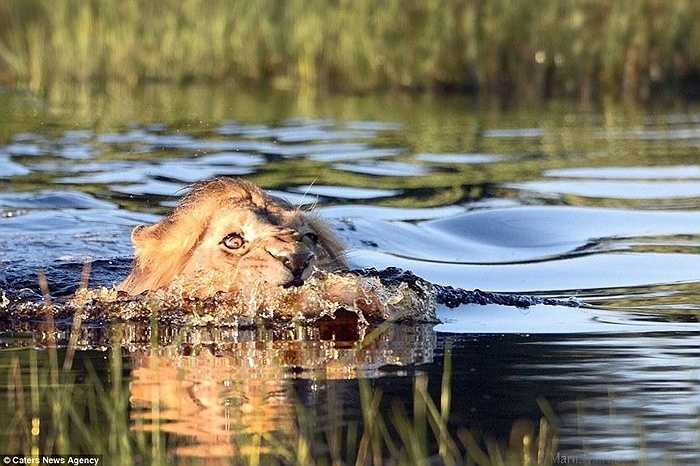 Con sư tử lội xuống nước định kiếm bữa ăn ngon thì phát hiện con cá sấu dữ tợn. Sư tử to lớn đành bỏ qua món ăn ngon mà quay vào bờ
