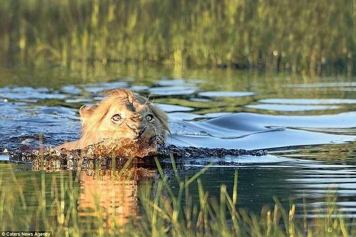 Sư tử vội vàng lui vào bờ để tránh khỏi bị tấn công bởi cá sấu to lớn dưới nước