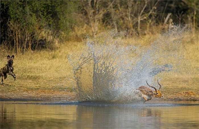 Một nhiếp ảnh gia đã chứng kiến cảnh cố gắng thoát khỏi vòng vây của 'kẻ săn mồi' trên sông Okavango ở Botswana,