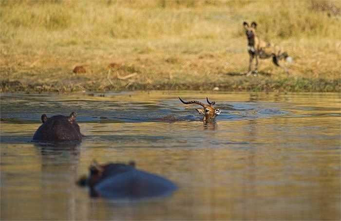 Nhìn thấy con linh cẩu đang chờ đợi con mồi trên bờ, con linh dương vội vàng lao xuống nước tìm cách thoát khỏi con vật đáng sợ