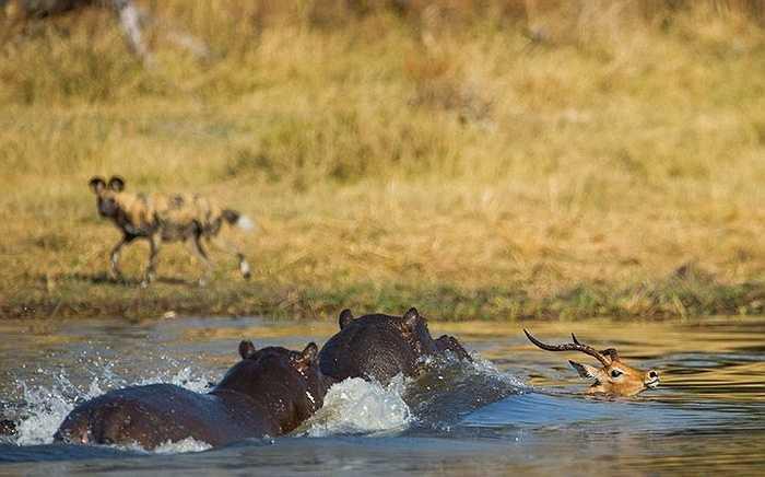 Nhưng đâu có ngờ, con linh dương sẽ phải đối diện với kẻ thù còn háu ăn và đáng sợ hơn rất nhiều đó là hà mã
