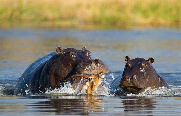 Hai con hà mã đứng dưới nước đã sẵn sàng chén bữa thịt ngon lành. Chúng không bỏ qua thời cơ lao vào con linh dương bé nhỏ tội nghiệp