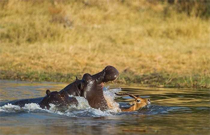 Hàm răng rộng và lớn của hà mã tìm mọi cách để ngoạm sạch con linh dương