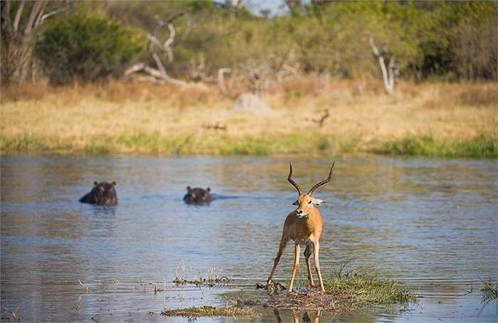 Thậm chí, sau khi chén sạch con linh dương, hà mã vẫn hướng đến con linh dương khác đang đứng gần đó