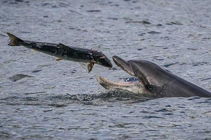 Khoảnh khắc cá heo nuốt chửng cá hồi đầy thú vị được ghi lại một cách hoàn hảo khiến nhiều người ấn tượng.
