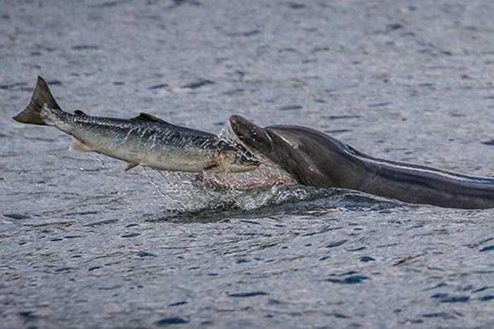 Loạt ảnh cho thấy một con cá hồi vừa quẫy nước, tung mình nhảy lên không trung thì ngay lập tức một con cá heo mũi chai chớp lấy cơ hội, nhanh như cắt há rộng miệng chờ đợi đớp trọn con cá hồi xấu số.