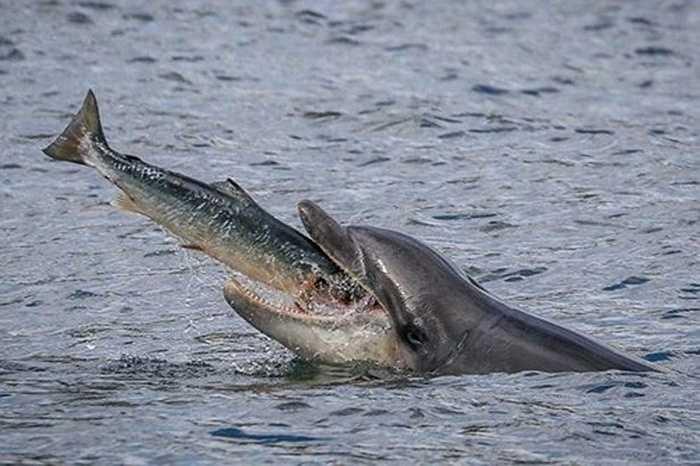 Theo đà, con cá hồi cũng lao thẳng vào miệng của con cá heo, kết thúc điệu nhảy cuối cùng một cách bi thảm nhất.