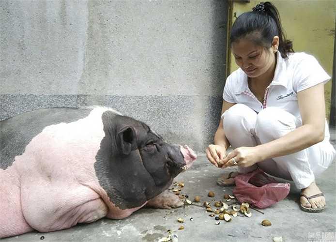 Chú lợn được mua từ giữa năm 2014