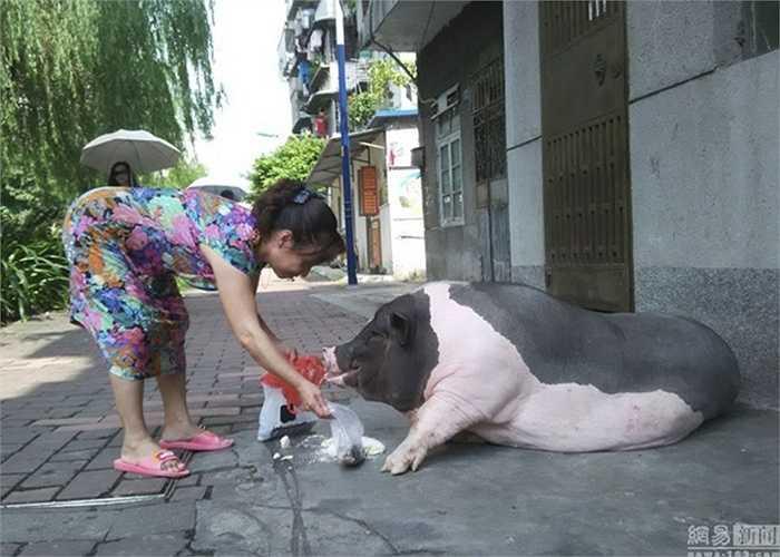 Chú lợn được nói là giống Thái Lan này tăng đến 90kg, to như lợn thịt bình thường