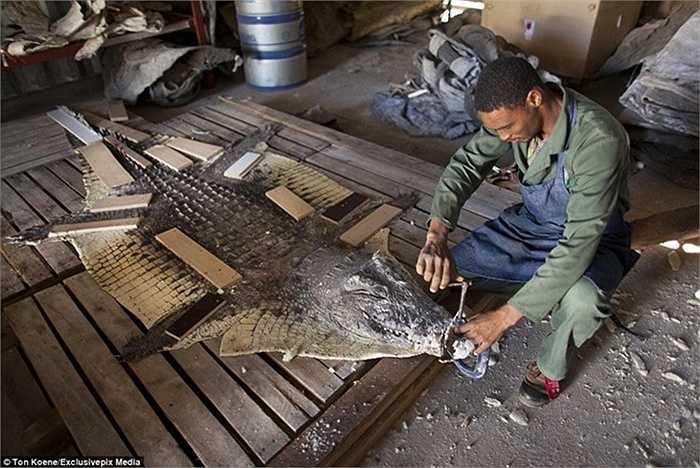 Chiếc thảm cá sấu như thế này được rất nhiều đại gia săn lùng để đặt trong nhà nhằm thể hiện đẳng cấp và sự chịu chơi.